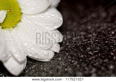Chamomile With Water Drops Macro