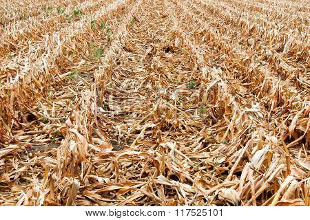 Harvested Corn Field In Golden Yellow Row