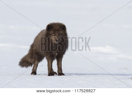Commander's Blue Arctic Fox That Stands In The Snow Winter Day