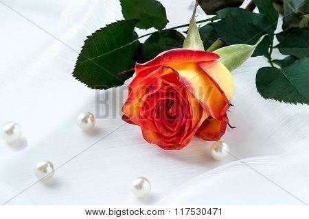 Bright Orange Rose In A Gift