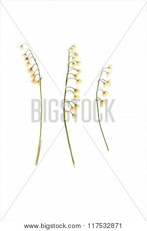 Pressed And Dried Flower Lily Of The Valley.