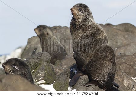 Young Male Northern Fur Seal Sitting On The Rocks
