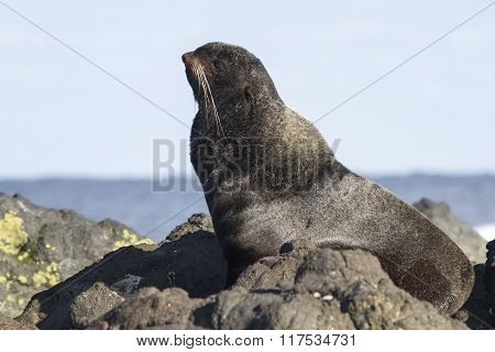 Young Male Northern Fur Seal That Rests