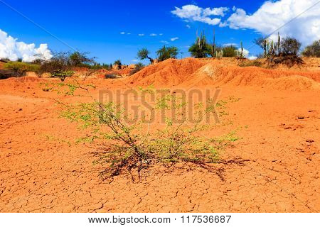 big cactuses in red desert, tatacoa desert, colombia, latin america