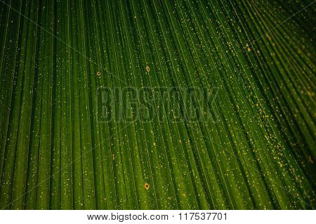 Closeup To Green Palm Leaf Livistona Rotundifolia Tree Texture