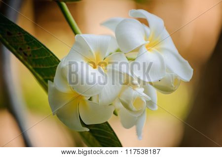 White Frangipani Tropical Flower, Plumeria Flower Blooming On Tree,