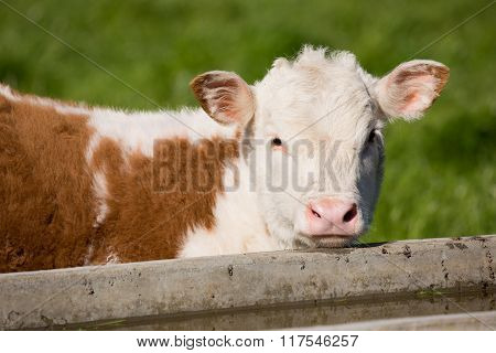Brown and White Calf Grazing in the Meadow