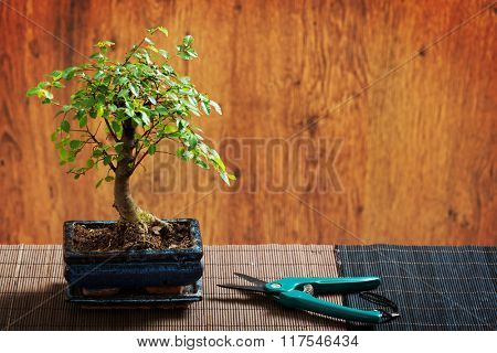 Beautiful bonsai tree and scissors on wooden background