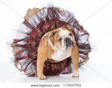 bulldog wearing ballerina costume sitting on white background