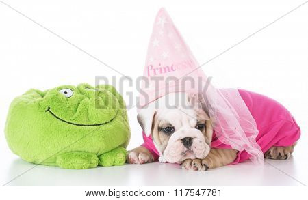 adorable english bulldog puppy dressed like a princess on white background