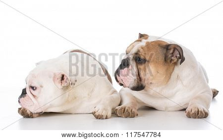 two english bulldog laying down on white background