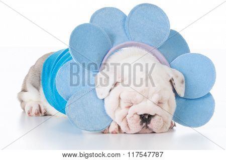 adorable english bulldog puppy laying on white background