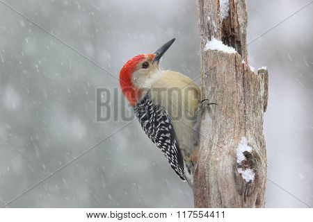Male Red Belly in Snow
