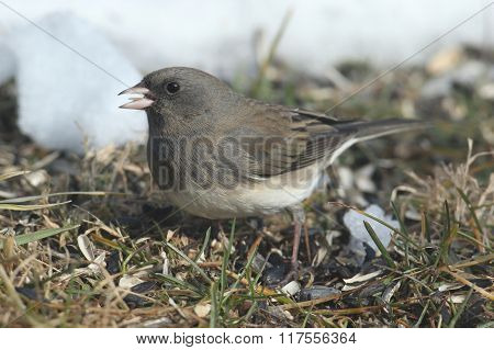 Dark-eyed Junco (junco Hyemalis) In Snow