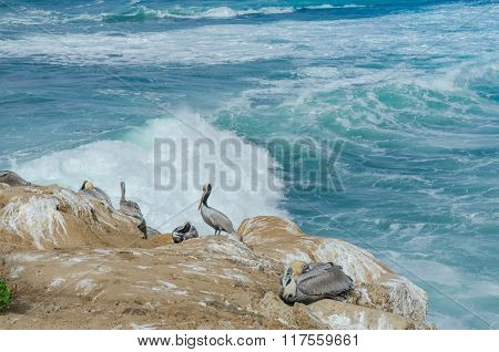 Pelicans Resting On Rock In La Jolla