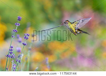 Sword-billed Hummingbird With Sage Flowers