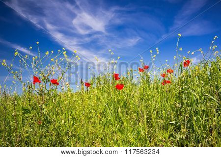 Red poppies in Tuscany at spring, Italy