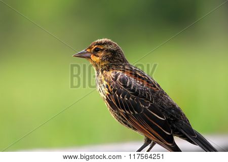Close up shot of Pine Siskin bird