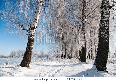 Snowy Birch Alley