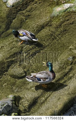 Ducks Washing In The River
