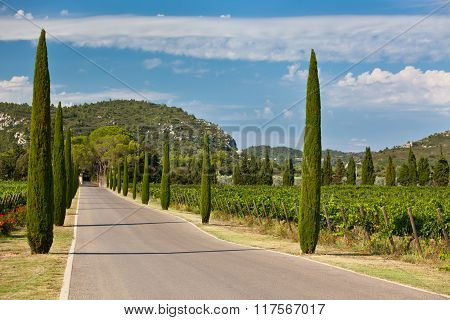 Cypresses Alley Through Vineyards