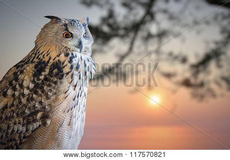 owl portrait on winter sunset background