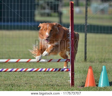 Nova Scotia Duck Tolling Retriever At A Dog Agility Trial