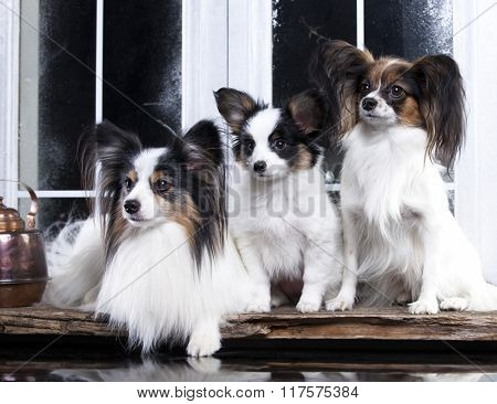 Papillons family, mom, dad and puppy