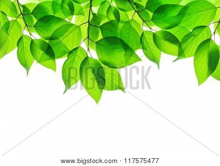 Spring leaves on white background