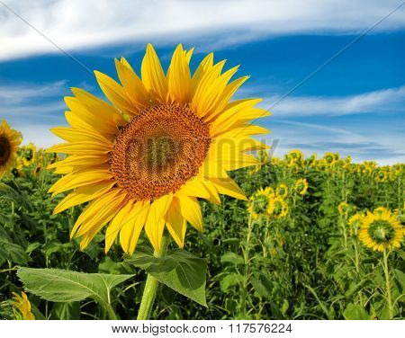 Beautiful sunflowers against blue sky