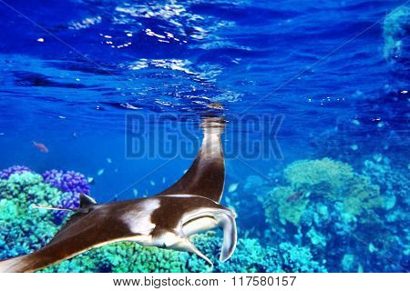 Manta Ray In Indian Ocean - Maldives, Near Thoddoo Island.