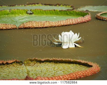 White Lotus Flower And Giant Lotus Leaves In The Pond