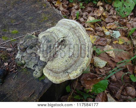Mushrooms in the autumn grass