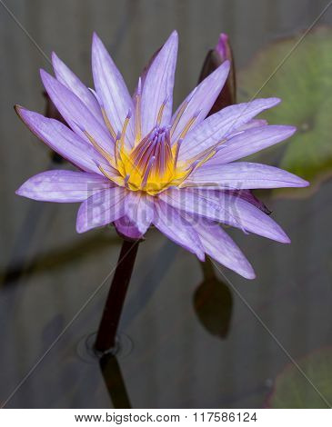 Purple Lotus Flower In Pond