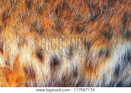 Texture Spotted Wild Animal Fur . Wild Forest Lynx .