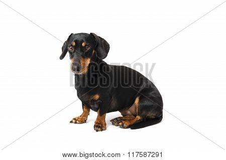 A sitting isolated dachshund