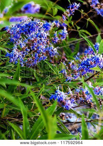 Blue flowering plant Chaste Tree or Monk's pepper (Vitex agnus)