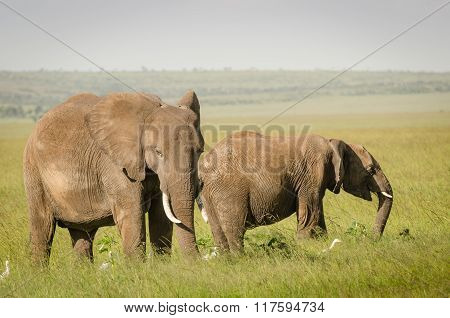 African baby elephant with mother grazing in Masai Mara National Reserve, Kenya.