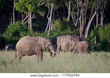 Elephants in Masai Mara National Reserve, Kenya.