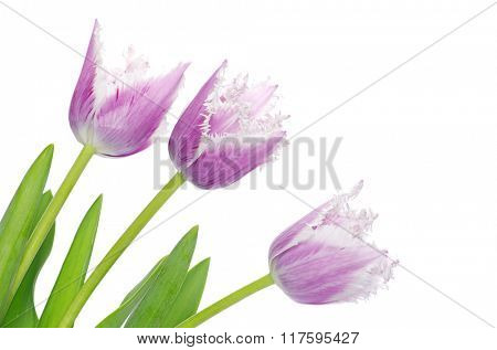 purple tulips isolated on white background