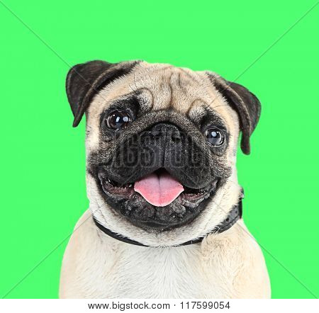 Funny, cute and playful pug dog on green background