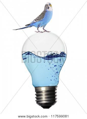 Little blue parrot sitting on light bulb with water isolated on white