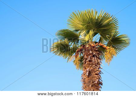 One Date Palm Against The Bright Blue Sky