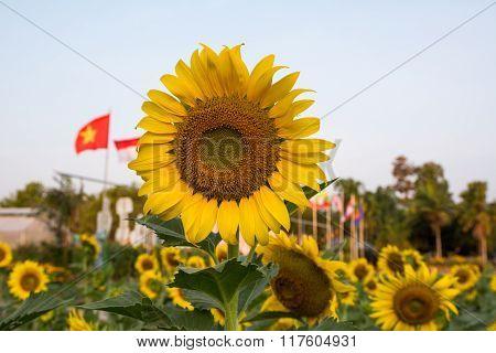 sunflowers,sunflower, Beautiful Sunflowers blooming in the field