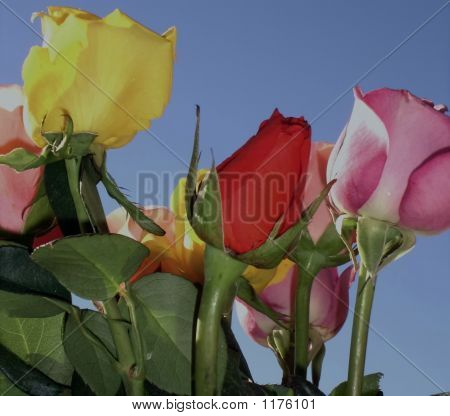 Different Colored Roses