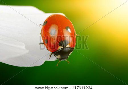 Ladybug and flower on sun
