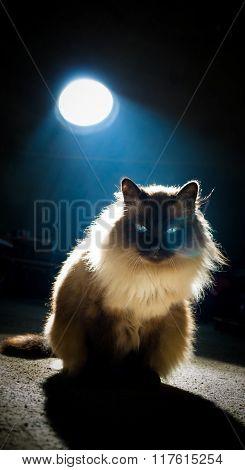 Birman cat with wonderful blue eyes