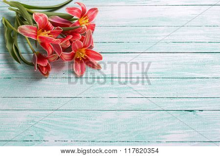 Fresh  Spring Pink Tulips Flowers  On Turquoise  Painted Wooden Planks.