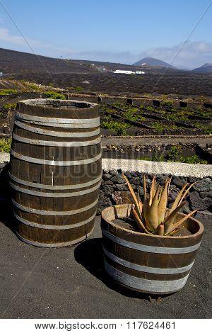 Cactus  Home Viticulture  Winery Lanzarote Spain  Geria Vine Screw Grapes