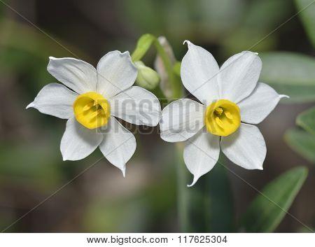 Polyanthus Narcissus